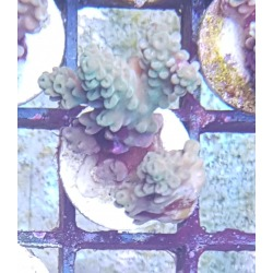 Acropora frag sp