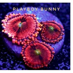 PlayBoy Bunnys