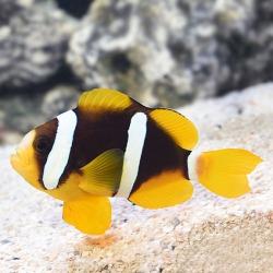 Amphiprion clarkii