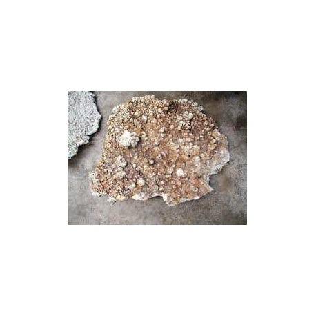 Roca de Coral plana para decoración