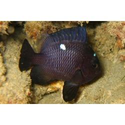 Dascyllus trimaculatus XL