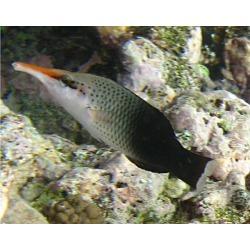 Gomphosus Varius ♀