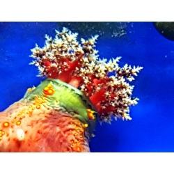 Pseudocolochirus violaceus Tricolor