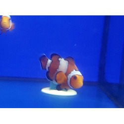 Amphiprion Snowflake (2x78€)