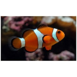 Amphiprion Ocellaris Pez payaso