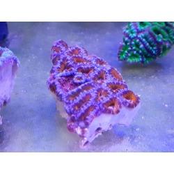 Acanthastrea sp