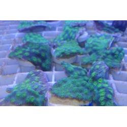 Echinophyllia lamellosa