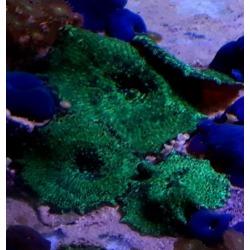 Discosomas verde