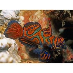 pterosynchiropus splendidus rojo/azul pareja