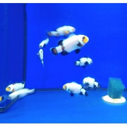 Amphiprion Snow Onyx