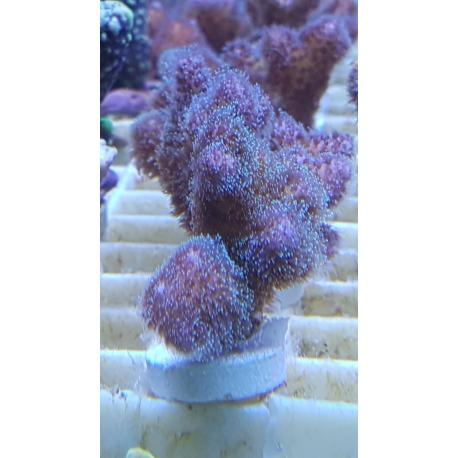 Pocillopora rosa frag