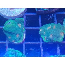 Echinophyllia sp frags
