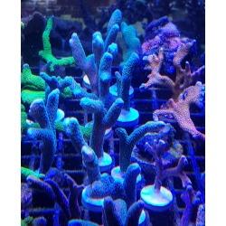 Montiporas Digitata azul frags