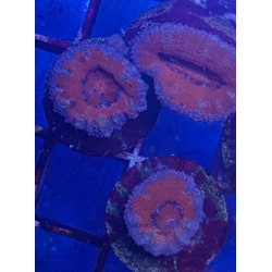 Acanthastrea lordhowensis roja frags