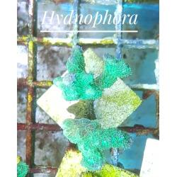 Hydnophora sp